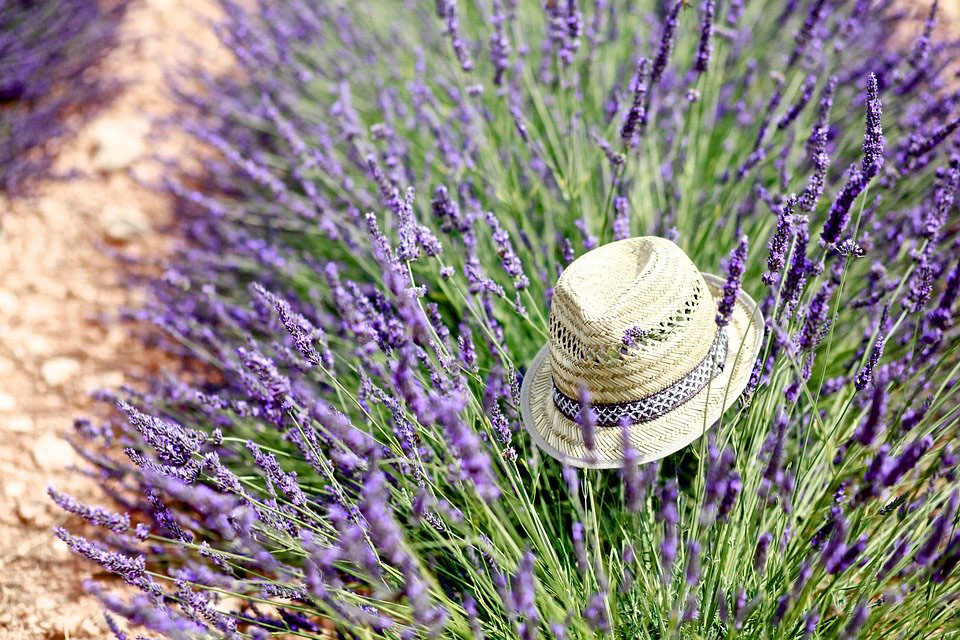 Lavande en Provence,le grand rush !